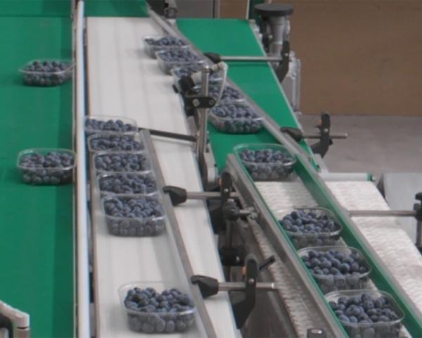 Контроль веса в потоке при фасовке черники, готовое оборудование Украина