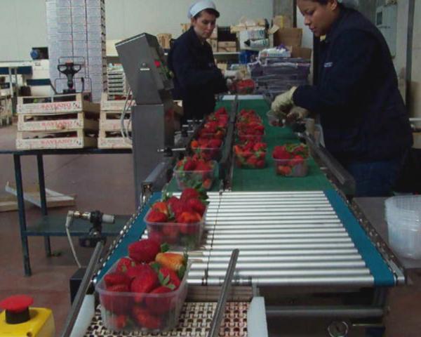 Контроль веса в потоке при фасовке клубники, готовое оборудование Украина